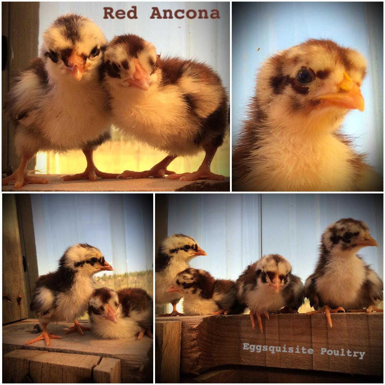 for sale u2013 kildare park olive farm home of eggsquisite poultry